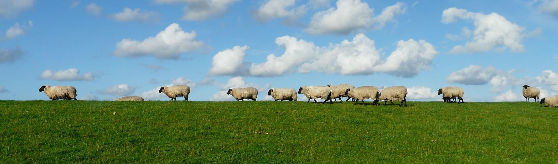 schapen-e1461499458920